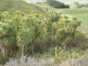 Fenced off cabbage trees at Bonaveree farm - soon to be joined by a further 50 hectares for regenerating natives