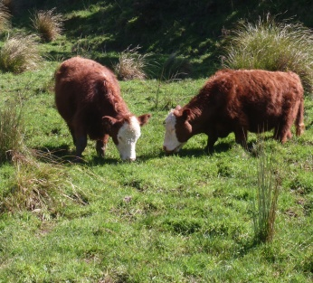 Cows grazing wetland - Porirua catchment
